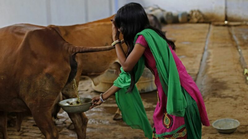 Indian researcher claims cow's dung and urine can prevent nuclear radiation