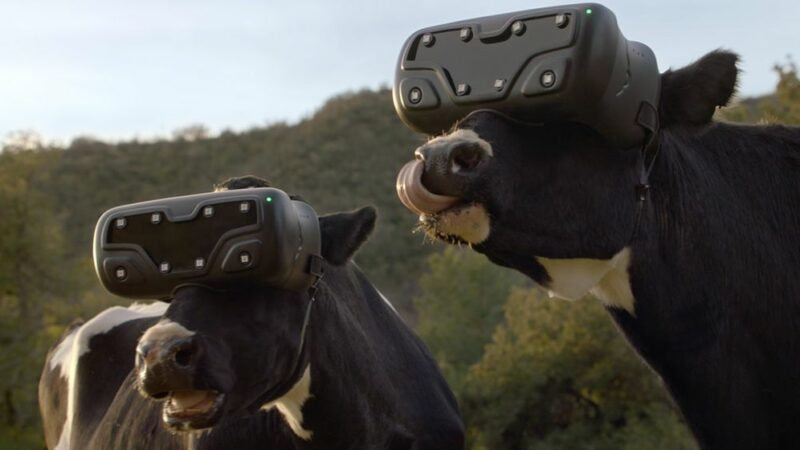 Russians make cows wear VR glasses to increase milk production