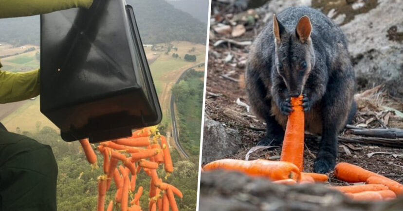 Planes drop thousands of kilograms of carrots and potatoes for animals