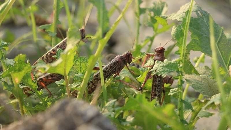 National emergency declared against swarms of desert locust