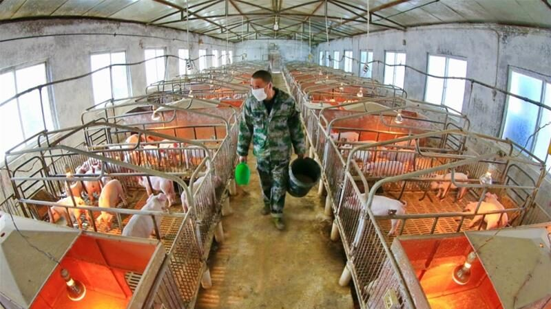 Scientists warn new virus in pigs in China has potential pandemic risk