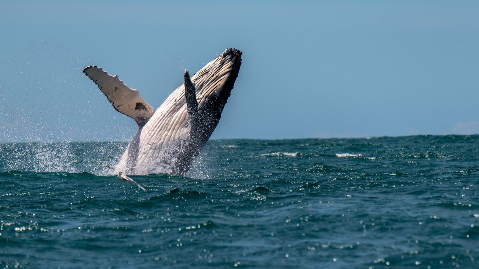 Endangered humpback whales spotted by fishermen in Pakistani waters near Pasni