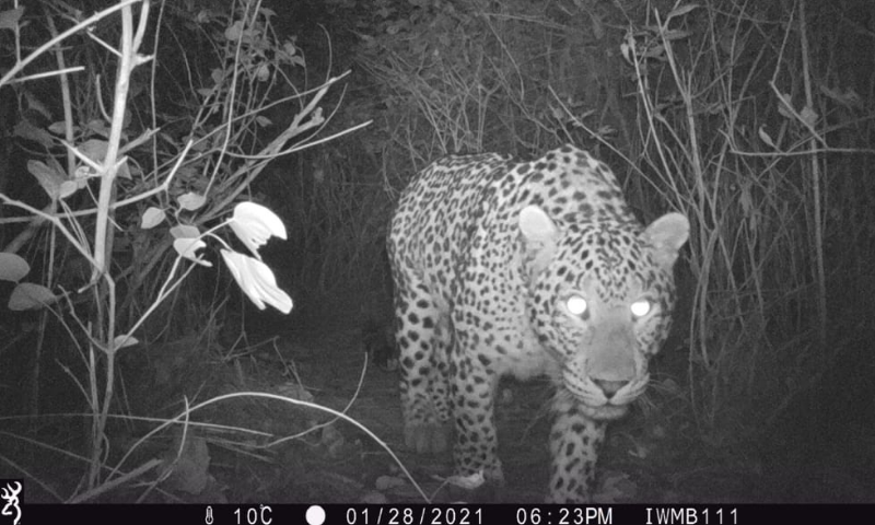 Rising leopard population on Margalla Hills linked to a healthy ecosystem