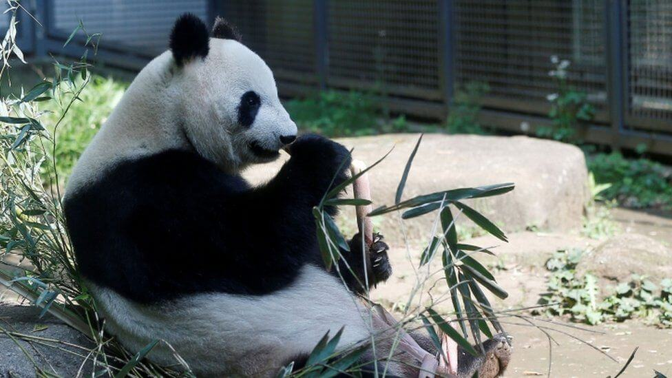 Tokyo Zoo's giant panda gives birth to twin cubs