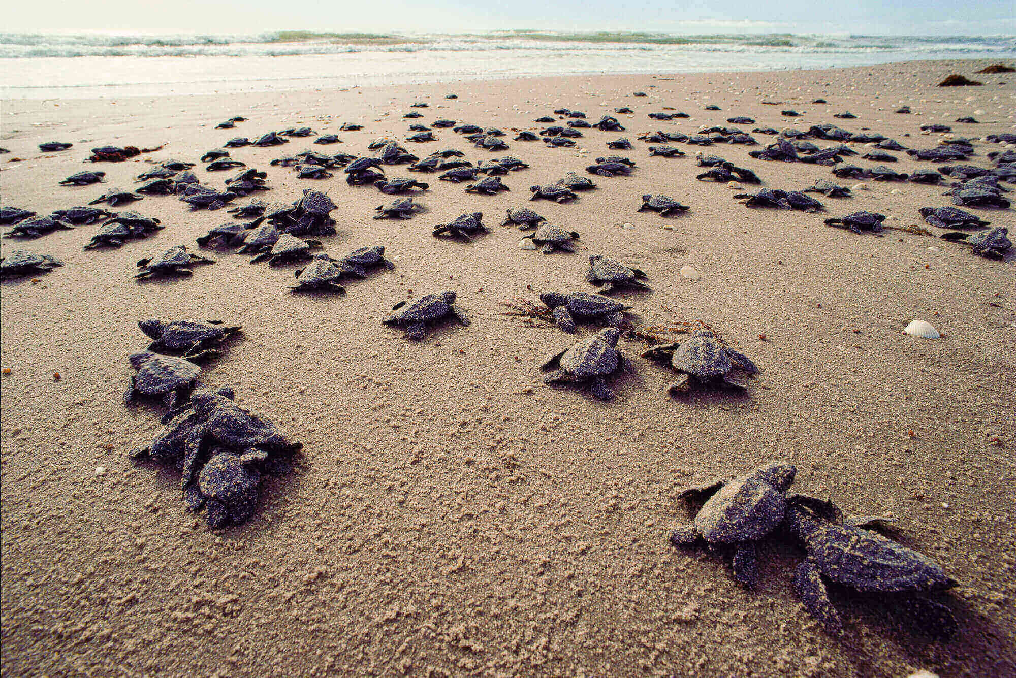 Pakistan loses nesting grounds for Green sea turtles by 30%