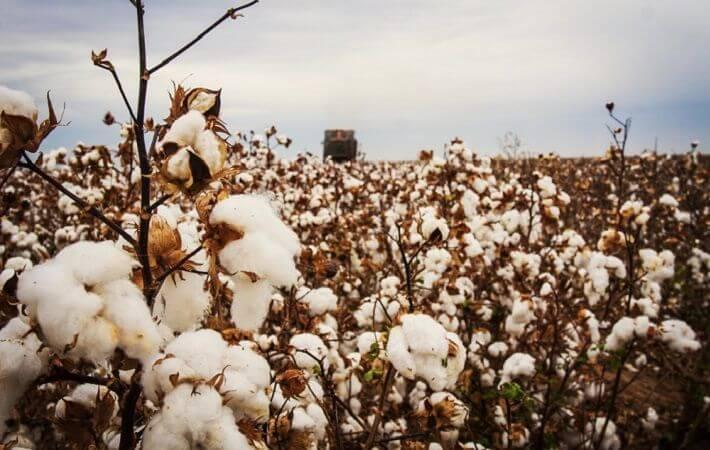 Govt plans to introduce cotton cluster villages to modernize cotton farming