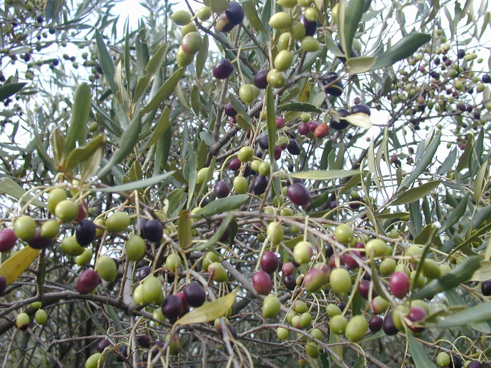 KP discovers 70 million plants of wild olive trees
